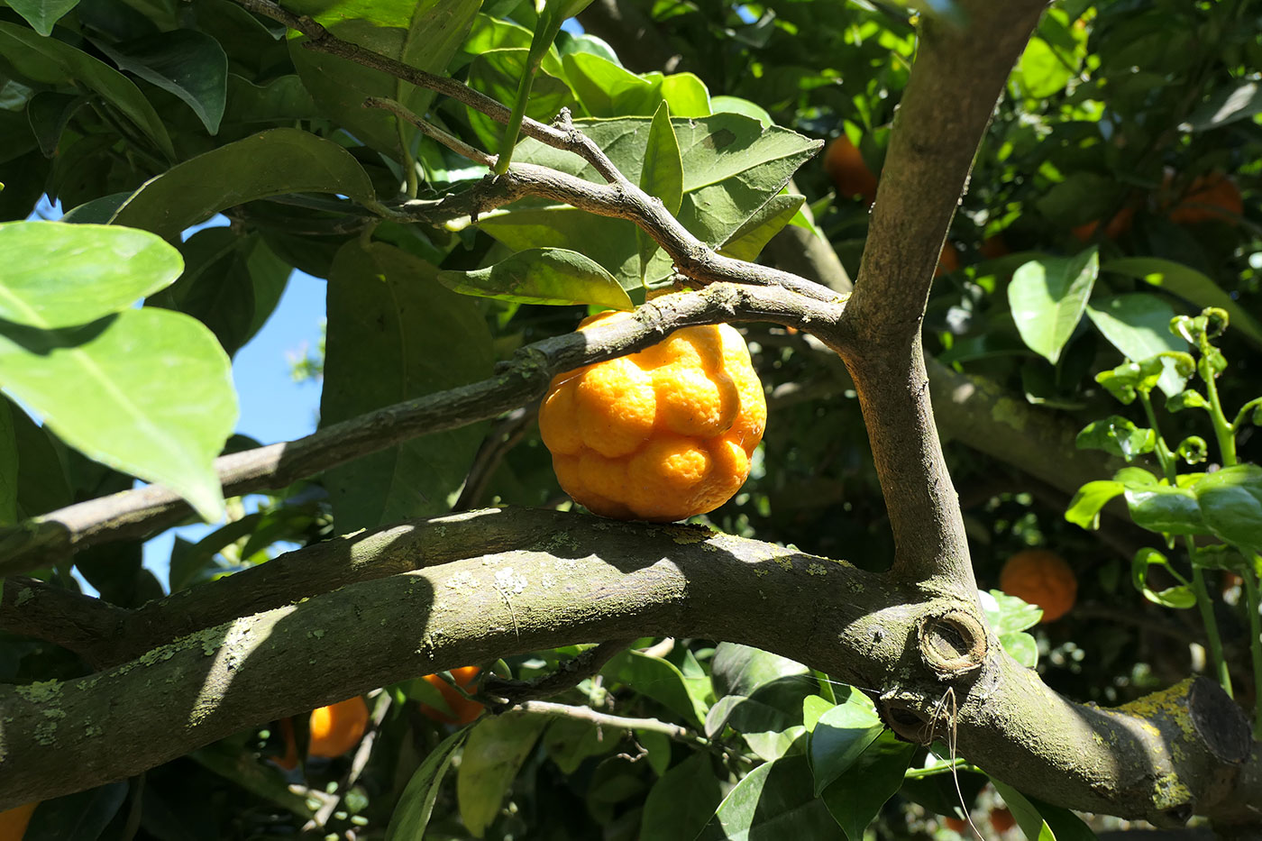Citronnier, Jardin de la Kolymbetra-Agrigente-Crédit Numero Une