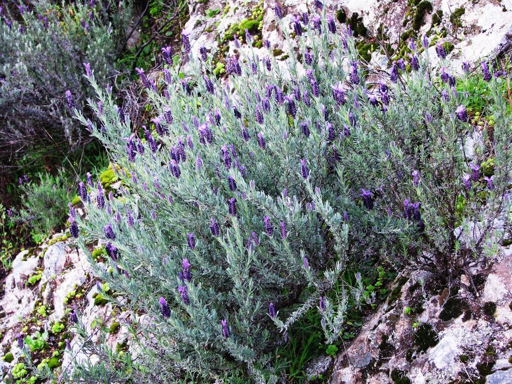 Lavande, Plantes de Balogna, DR